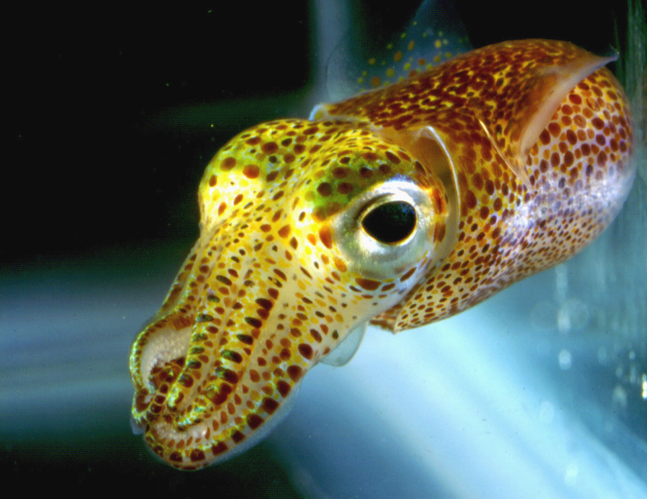 Hawaiian_bobtail_squid04-1
